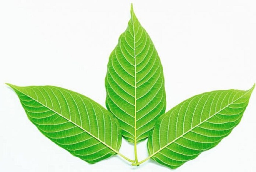 Medicinal herb kratom a safe and effective alternative for treating pain, anxiety and depression